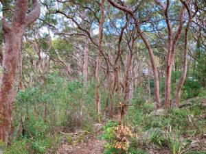 Balls Head Reserve - bushland