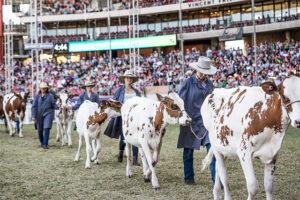 Royal Easter Show-Calves